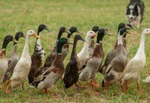 Trendfolgestrategie - Nicht nur bei Enten oft vielversprechend